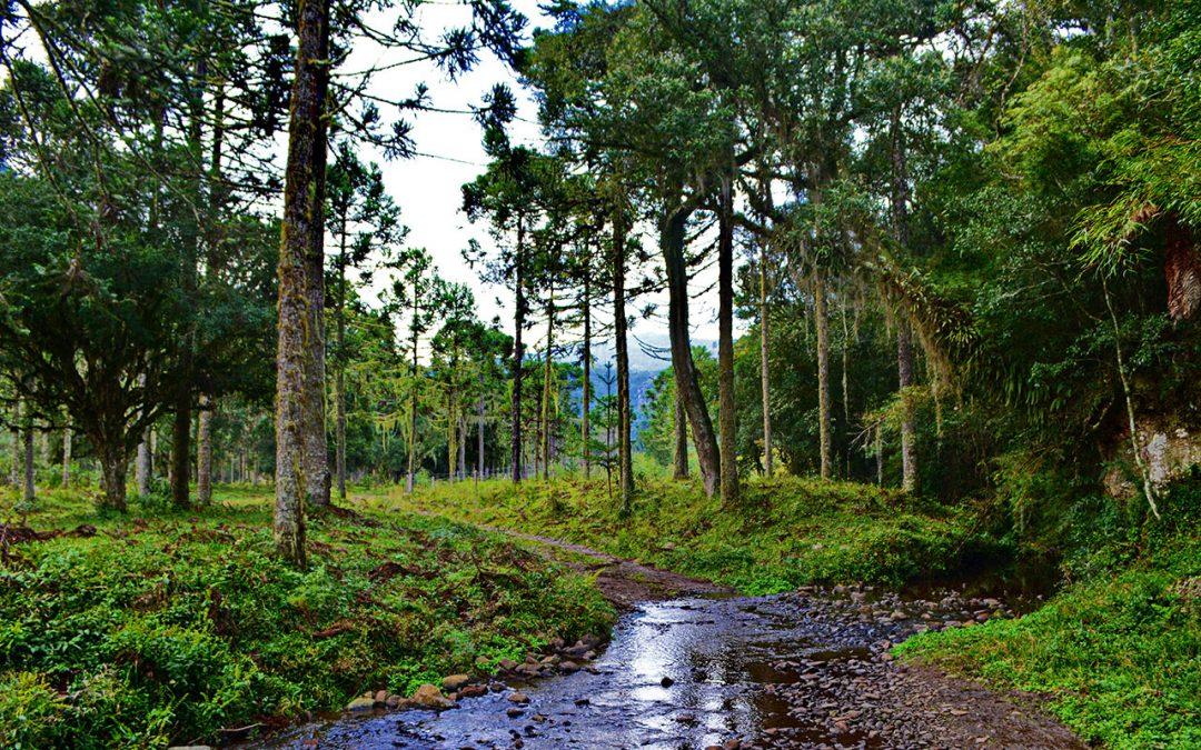 As belezas e riquezas da Floresta com Araucária